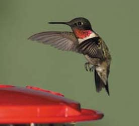 Ruby-throat Hummingbird